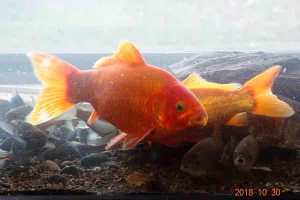 アクアPSには抗酸化作用があるため我が家の魚たちが長生きしています。